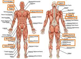 Muscles Used During Bench Press Group Fitness Classes Discover Everything You Ever Wanted To Know