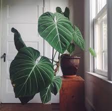 Indoor Flower Plants Philodendron Gloriosum Plants Organic Life Pinterest Plants