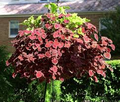 How To Grow Coleus Plants by Coleus Connection Coleus In Hanging Baskets