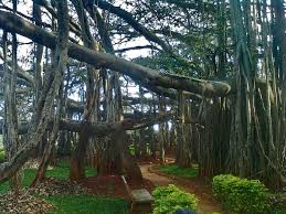 what can native australian plants teach us about business banyan wikipedia
