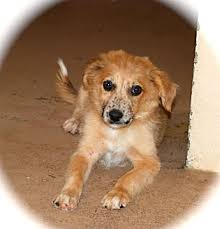 australian shepherd orange pepper adopted puppy austin tx australian shepherd