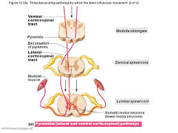 Pyramids Of The Medulla 12 The Central Nervous System Part D Ppt Download