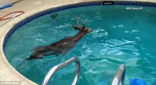 Pool In The Backyard by Eric Munn Frees Buck Taking An Afternoon Dip In Los Angeles Pool