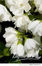 Most Fragrant Jasmine Plant - chilean jasmine has scent of vanilla height grow morning glory
