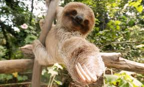 4 toed sloth all things sloth species of sloths