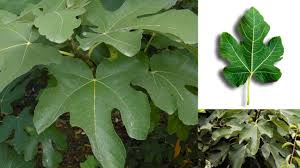 advantages and benefits of fig leaves youtube