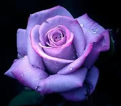 Colored Roses Best 25 Purple Rose Ideas On Pinterest Purple Roses Flowers