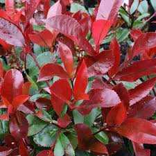 photinia robin robin tree mail order trees