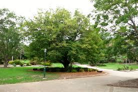 Brisbane City Botanic Gardens by National Trust Tamarind Tree Tamarindus Indica