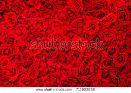 Different Color Roses Different Color Roses Stock Images Royalty Free Images U0026 Vectors