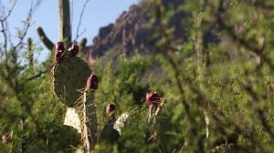 native sonoran desert plants food fiesta showcases treats from the sonoran desert azpm
