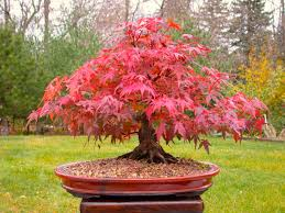 japanese maple bonsai tree grow your own tree office decor
