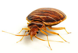 Bed Bugs What To Do Bed Bug Identification Arlington Pest Control Capitol Pest