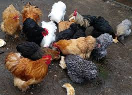 small chickens for sale melbourne fertile eggs hatching