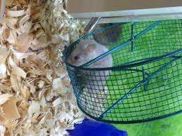 Hamster Cages Petsmart Life Have You Spinning In A Hamster Wheel You Can Still Benefit