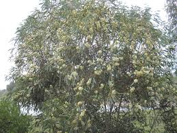 australian native plants brisbane eucalyptus tucker time honey pots for more australian native