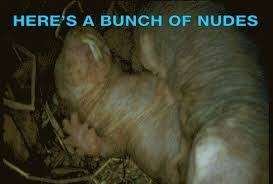 Naked Mole Rat Meme - don t get sextorted send a naked mole rat