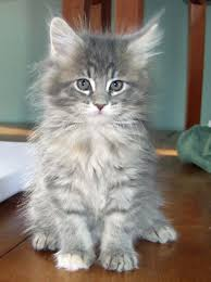 where to find maine coon kittens for sale maine coon cat and