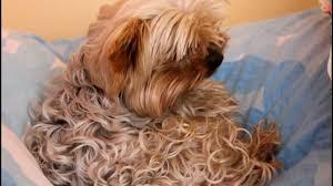 silky terrier hair cut hoky curly yorkshire terrier youtube