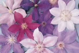 types of purple types of purple flowering almond smelling clematis home guides