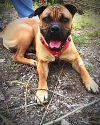 8 month old boxer dog weight mastiff dog breed information pictures characteristics u0026 facts