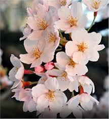 buy affordable japanese flowering cherry trees at our nursery