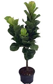 amazon com fiddleleaf fig stylized tree shape ficus great