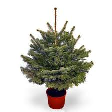 potted christmas tree potted fraser fir trees
