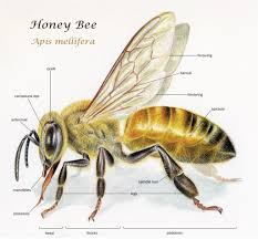 bee anatomy worksheet images learn human anatomy image