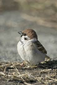 Sparrow by 500 Best Birds Sparrows Images On Pinterest Sparrows Animals