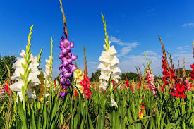 gladiolus flowers gladiolus flower meaning flower meaning