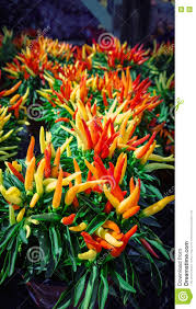 chili ornamental pepper plant stock photo image 71994652
