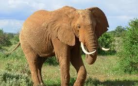 dirty elephant wallpaper 22741