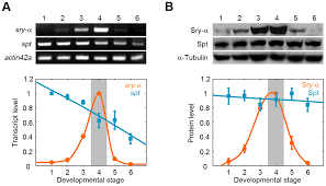 the maternal to zygotic transition targets actin to promote