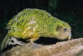 kakapo new zealand birds online