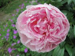 peonies flower peonies how to plant grow and care for peony flowers the