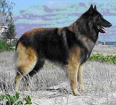 belgian sheepdog australia the pet directory australia dogs world u0027s largest online pet