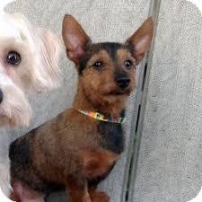 australian shepherd yorkie austin tx yorkie yorkshire terrier meet charlie a dog for