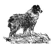 australian shepherd vs english shepherd english shepherds vs old time scotch collies