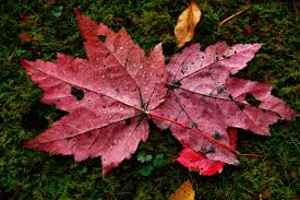 red autumn maple leaves water drops moss foliage free nature