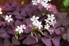 Purple Leaf Peach Tree by Oxalis Wikipedia