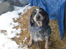 bluetick coonhound smokey ukc forums harpers u0027 stonecold bluetick kennel