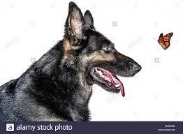 seamless backdrop german shepherd dog on a white seamless backdrop observes a