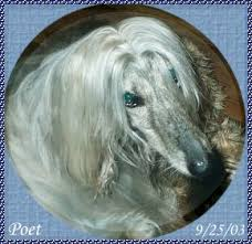 afghan hound agility afghan hound for sale show quality dog for pet companion obedience