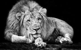 imagenes de leones salvajes gratis leones gatos salvajes 1920x1280 fondo de pantalla fondos de pantalla