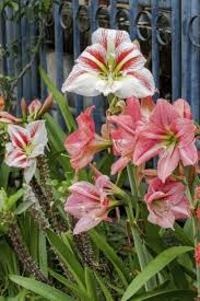 amaryllis flowers common amaryllis varieties learn about the types of amaryllis
