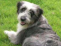 bearded collie x terrier brambledale bearded collies home working beardie pinterest