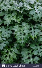 plant with decorative and ornamental foliage acanthus mollis