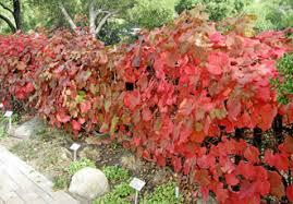 fall color native shrubs trees santa barbara botanic garden