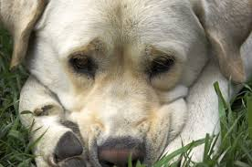 common causes of dog pain canna pet